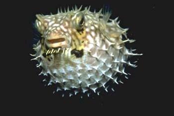 рыба колючая фугу